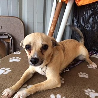 Chihuahua/Terrier (Unknown Type, Small) Mix Puppy for adoption in Elk Grove, California - LYNUS