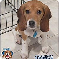 Adopt A Pet :: Eggnog - Yardley, PA