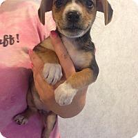 Adopt A Pet :: LUCY LITTER #3 - Pompton Lakes, NJ