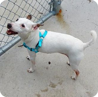 Jack Russell Terrier Mix Dog for adoption in Denver, Colorado - Abby