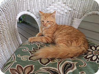 Domestic Shorthair Cat for adoption in Bay City, Michigan - Dora