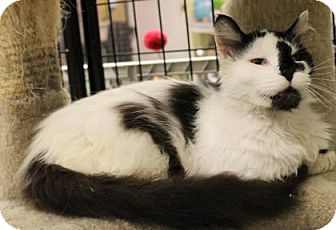 Domestic Longhair Cat for adoption in West Des Moines, Iowa - P.J.