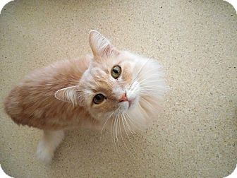 Maine Coon Cat for adoption in Palo Cedro, California - Leo