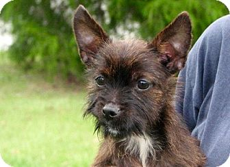 Yorkie, Yorkshire Terrier/Terrier (Unknown Type, Small) Mix Puppy for adoption in Nanuet, New York - Banjo