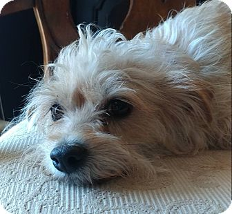 Yorkie, Yorkshire Terrier Mix Dog for adoption in Matthews, North Carolina - Mollie