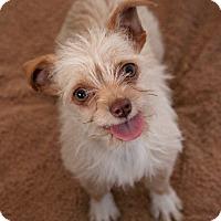 Adopt A Pet :: Scruffy - Fillmore, CA