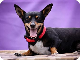 Miniature Pinscher/Dachshund Mix Dog for adoption in Poway, California - Mona