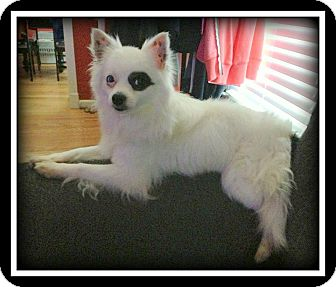 Papillon/Chihuahua Mix Dog for adoption in Indian Trail, North Carolina - Jack Sparrow