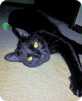 Domestic Mediumhair Kitten for adoption in Olmsted Falls, Ohio - Jasper-Courtesy Post