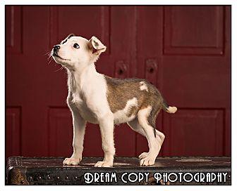Terrier (Unknown Type, Medium) Mix Puppy for adoption in Owensboro, Kentucky - Cyrus