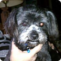 Adopt A Pet :: Sweet Pea - Danbury, CT