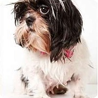 Adopt A Pet :: Grace - New York, NY