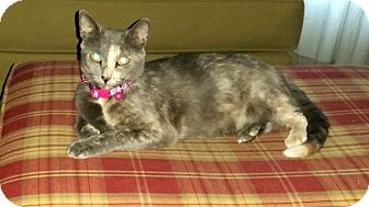 Domestic Shorthair Cat for adoption in Winterville, North Carolina - GABBY