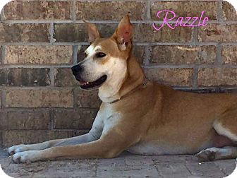 Carolina Dog Mix Dog for adoption in Cranston, Rhode Island - Razzle (fostered in TX)