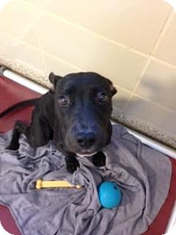 Retriever (Unknown Type) Mix Dog for adoption in Aiken, South Carolina - Maurice