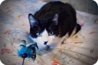 Domestic Shorthair Kitten for adoption in Wichita, Kansas - Smudge
