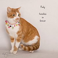 Domestic Shorthair Cat for adoption in Sherman Oaks, California - Pinky