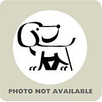 Siberian Husky Dog for adoption in Inverness, Florida - Sib#286