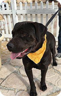 Labrador Retriever/Rottweiler Mix Dog for adoption in Santa Ana, California - Rocky