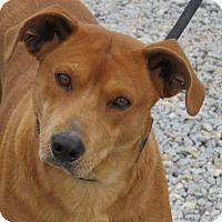 Chow Chow/Labrador Retriever Mix Dog for adoption in Richmond, Virginia - Siracha
