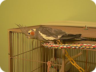 Cockatiel for adoption in Little Falls, New Jersey - Magic & Puffin