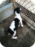 Fox Terrier (Toy)/Hound (Unknown Type) Mix Puppy for adoption in Athens, Georgia - Jade