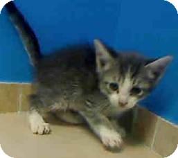 Domestic Shorthair Kitten for adoption in East Brunswick, New Jersey - Bella