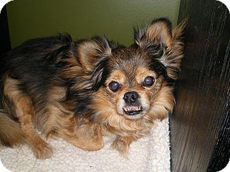 Pekingese/Pomeranian Mix Dog for adoption in Apex, North Carolina - Fester
