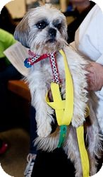Shih Tzu Dog for adoption in Loudonville, New York - Mercy