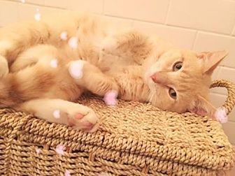 Domestic Shorthair Cat for adoption in San Antonio, Texas - Peachy