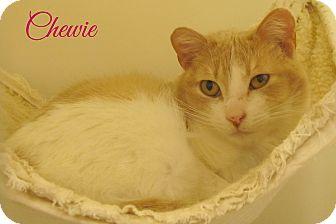 Domestic Shorthair Cat for adoption in Menomonie, Wisconsin - Chewie