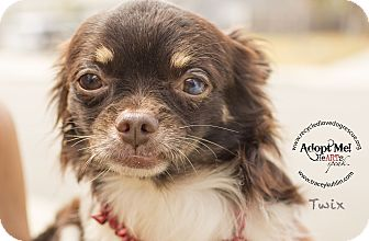 Japanese Chin/Chihuahua Mix Dog for adoption in Inland Empire, California - TWIX