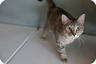Domestic Shorthair Cat for adoption in San Antonio, Texas - Mia