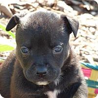 Adopt A Pet :: Virgo - Raleigh, NC