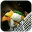 Photo 2 - Caique for adoption in Fountain Valley, California - Whisker