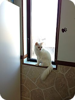 Domestic Mediumhair Cat for adoption in Bluff city, Tennessee - SAMMIE