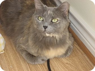Maine Coon Cat for adoption in Huffman, Texas - Sophie