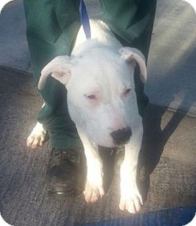 Pit Bull Terrier Mix Puppy for adoption in Seattle, Washington - Bryan -FOSTER NEEDED