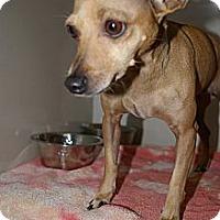 Adopt A Pet :: Mommy Chi - Brooksville, FL