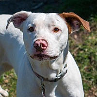 Pointer/Hound (Unknown Type) Mix Dog for adoption in Enfield, Connecticut - Sarah