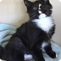 Adopt A Pet :: Mittens - East Hanover, NJ
