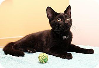 Domestic Shorthair Kitten for adoption in Brooklyn, New York - London