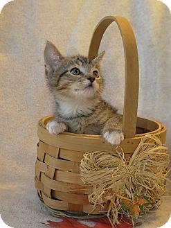 Domestic Shorthair Kitten for adoption in Wayne, New Jersey - Kassidy
