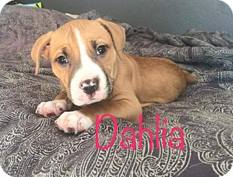 Boxer/Hound (Unknown Type) Mix Puppy for adoption in Concord, California - Dahlia