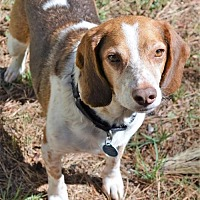 Adopt A Pet :: Rusty - Atlanta, GA