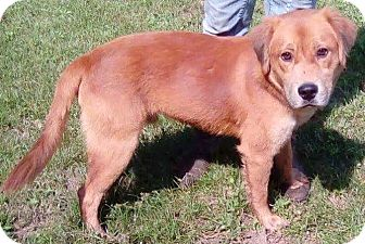 Golden Retriever Mix Dog for adoption in Orlando, Florida - Rusty