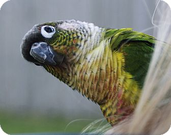 Conure for adoption in Tampa, Florida - Marley