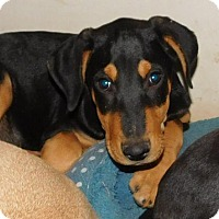Doberman Pinscher Mix Dog for adoption in Von Ormy, Texas - Manny