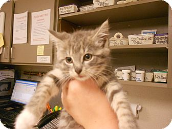 Domestic Shorthair Cat for adoption in Maywood, New Jersey - Candice