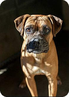 Boxer Mix Dog for adoption in Alexandria, Virginia - Lucky